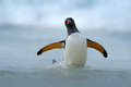 Gentoo penguin jumps out of the blue water while swimming through the ocean in falkland island antarctica Royalty Free Stock Photos