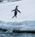 Gentoo penguin jumps out of the water onto land in antarctica Stock Images