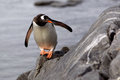 Gentoo penguin looking around corner on rock Royalty Free Stock Image
