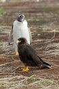 Gentoo penguin is looking curious to a caracara bird falkland islands Royalty Free Stock Photo