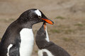 Gentoo penguin mother and her chick Royalty Free Stock Photo