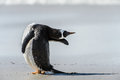 Gentoo penguin poses falkland islands south atlantic ocean british overseas territory Royalty Free Stock Image