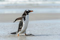 Gentoo penguin poses runs over the coast falkland islands south atlantic ocean british overseas territory Stock Images