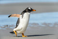 Gentoo penguin poses runs over the coast falkland islands south atlantic ocean british overseas territory Royalty Free Stock Photos