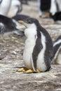 Gentoo penguin (Pygoscelis papua) Stock Images