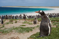 Gentoo penguin pygoscelis papua on bleaker island in the falkland islands thousands of penguins and magellanic penguins Stock Photo