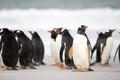Gentoo Penguin (Pygoscelis papua) colony on the beach. Falkland Royalty Free Stock Photo