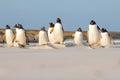 Gentoo penguin (Pygoscelis papua) colony on the beach, Falkland Royalty Free Stock Photo