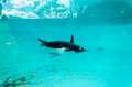 Gentoo Penguin (Pygoscelis papua), swimming underwater Royalty Free Stock Photo