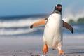 Gentoo penguin pygoscelis papua walking on the beach bertha s falkland islands Stock Images