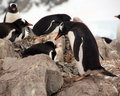 Gentoo penguin rookery, nesting on rocks, Royalty Free Stock Images