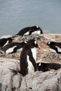 Gentoo penguin rookery, nesting on rocks, Stock Images