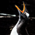 Gentoo penguin shouting screaming dark background Royalty Free Stock Images