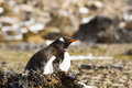 A Gentoo Penguin sitting on its egg Royalty Free Stock Photo