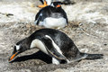 Gentoo penguin among the stones takes care of egg falkland islands south atlantic ocean british overseas territory Stock Photos