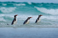 Gentoo penguin three water bird in the ocean swimming and jumping in the sea falkland island antarctica Stock Photography