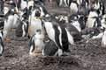 Gentoo penguin with two chicks pygoscelis papua falkland islands after rain Royalty Free Stock Images