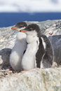 Gentoo penguin two chicks sitting in nest in anticipation of par parents Stock Photo