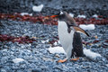 Gentoo penguin waddling along seaweed strewn shingle beach Stock Photo