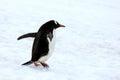 Gentoo penguin walking on snow in Antarctic Peninsula Royalty Free Stock Photo