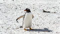 Gentoo penguin walks over the ground falkland islands south atlantic ocean british overseas territory Stock Photography