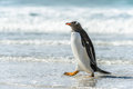 Gentoo penguin and a wave falkland islands south atlantic ocean british overseas territory Stock Photo