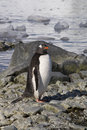 Gentoo penguin a wet in antarctica Royalty Free Stock Photos