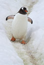 Gentoo penguin who goes on a track laid in the snow Stock Photography
