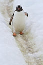 Gentoo penguin who goes on the trail spring day Royalty Free Stock Image