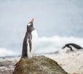 Gentoo penguin in wildlife antarctica Royalty Free Stock Photos