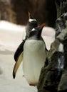 Gentoo Penguin. (10)