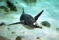 Gentoo Penguin. (26)