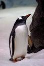 Gentoo Penguin. (6)