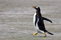 Gentoo penguin with yellow legs running down the sandy beach along the ocean in the falkland islands Royalty Free Stock Photos