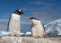 Gentoo penguin with young feeding one Royalty Free Stock Image