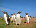 Gentoo penguins Stock Images