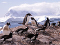 Gentoo penguins in Antarctica Stock Images