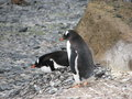Gentoo penguins brooding two their eggs antarctica Stock Image