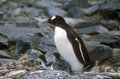 Gentoo penguins and chicks pygoscelis papua at rookery in paradise harbor antarctica Royalty Free Stock Images