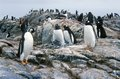 Gentoo penguins and chicks pygoscelis papua at rookery in paradise harbor antarctica Stock Image