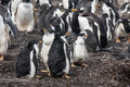 Gentoo penguins chicks after rain penguin pygoscelis papua falkland islands Stock Image