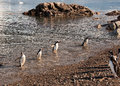 Gentoo penguins coming back from fishing Stock Photo