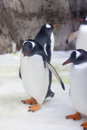 Gentoo penguins these cute and cheeky are also the fastest underwater swimming bird in the world Royalty Free Stock Photo