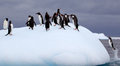 Gentoo penguins on iceberg jumping to Stock Image