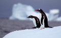 Gentoo penguins posing on an iceberg Stock Image