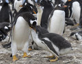 Gentoo penguins (Pygoscelis papua) Royalty Free Stock Photo