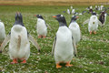 Gentoo penguins pygoscelis papua standing in a grassy meadow on bleaker island in the falkland islands Stock Images