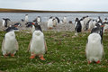 Gentoo penguins pygoscelis papua standing in a grassy meadow on bleaker island in the falkland islands Royalty Free Stock Photos