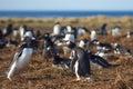 Gentoo Penguins Squabbling - Falkland Islands Royalty Free Stock Photo