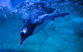 Gentoo penguins swimming on aquarium show Stock Photography